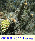 Pinyon Pine Tree With Dual Production For Current Year Next Season