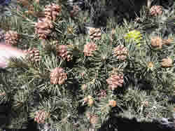 Plagued Pinyon Tree Upclose